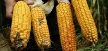corn_Gmo_735_350